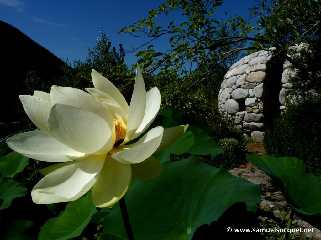 Lotus en fleur, dôme de Nicholas Brückin