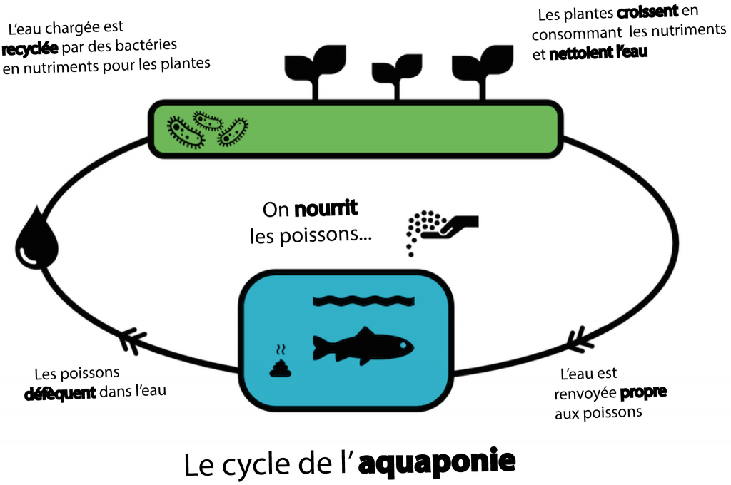 Le cycle de l'aquaponie (©Aquaponie.net)